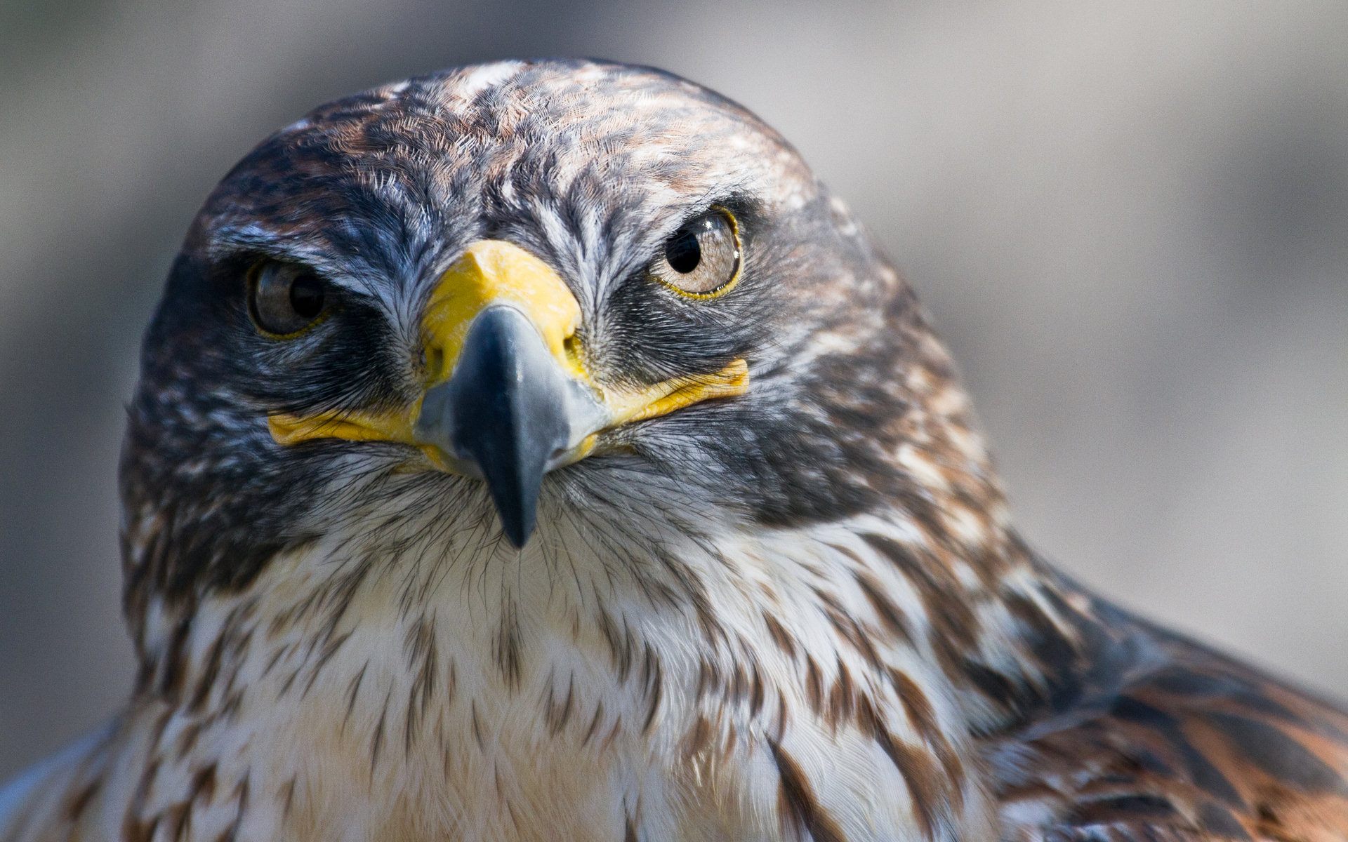 Falcon High Resolution Wallpapers: Falcon Full HD Wallpaper And Background Image