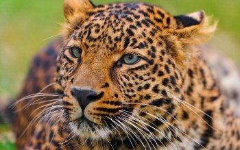 Animal - Leopard Wallpapers and Backgrounds ID : 247231