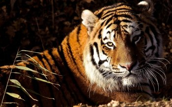 Animal - Tiger Wallpapers and Backgrounds ID : 248481