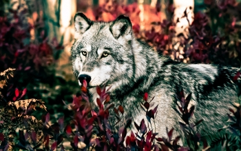 Animal - Wolf Wallpapers and Backgrounds ID : 250201