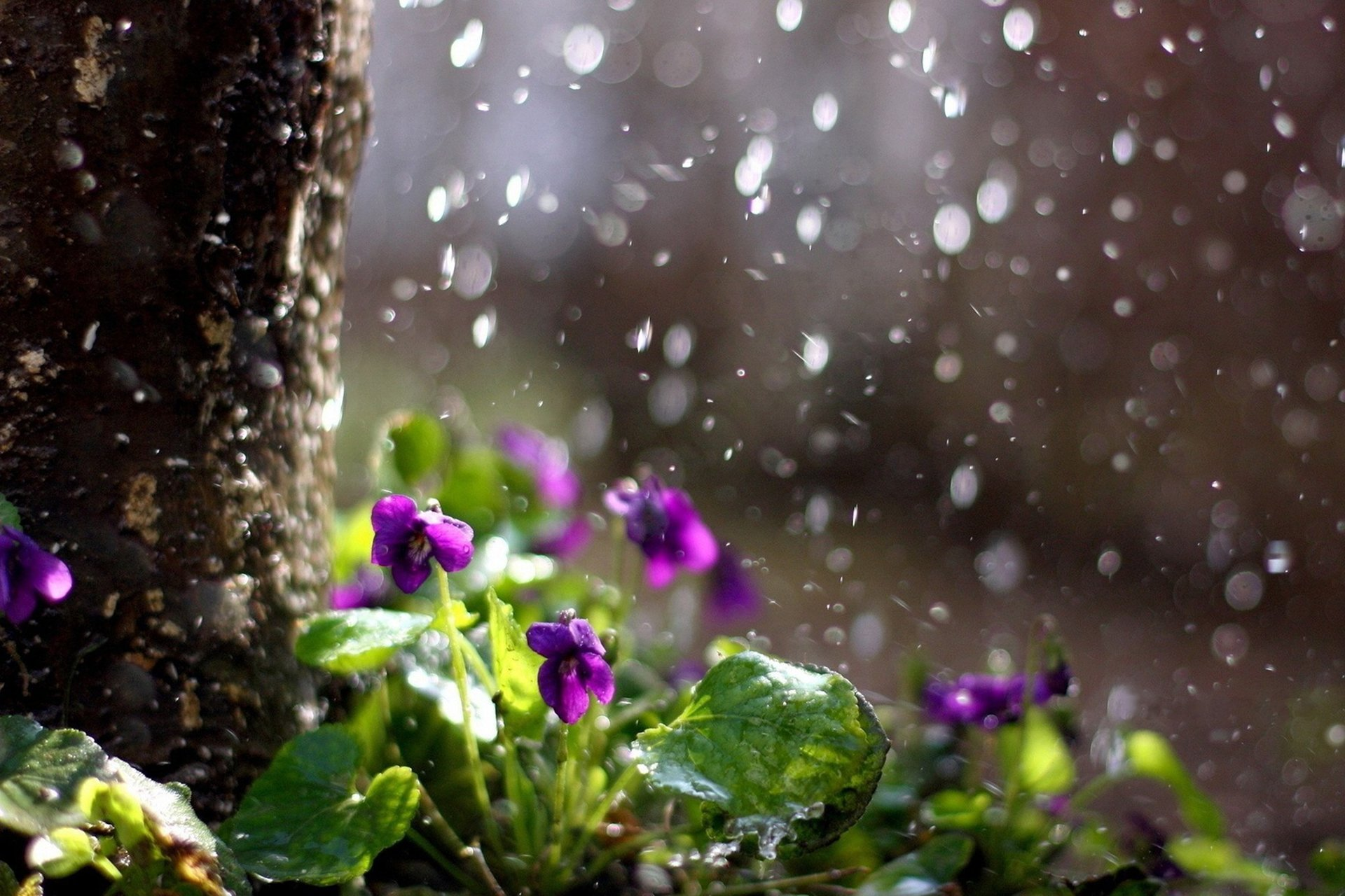 Rain full hd wallpaper and background image 1920x1280 id255591 photography rain flower wallpaper altavistaventures Image collections