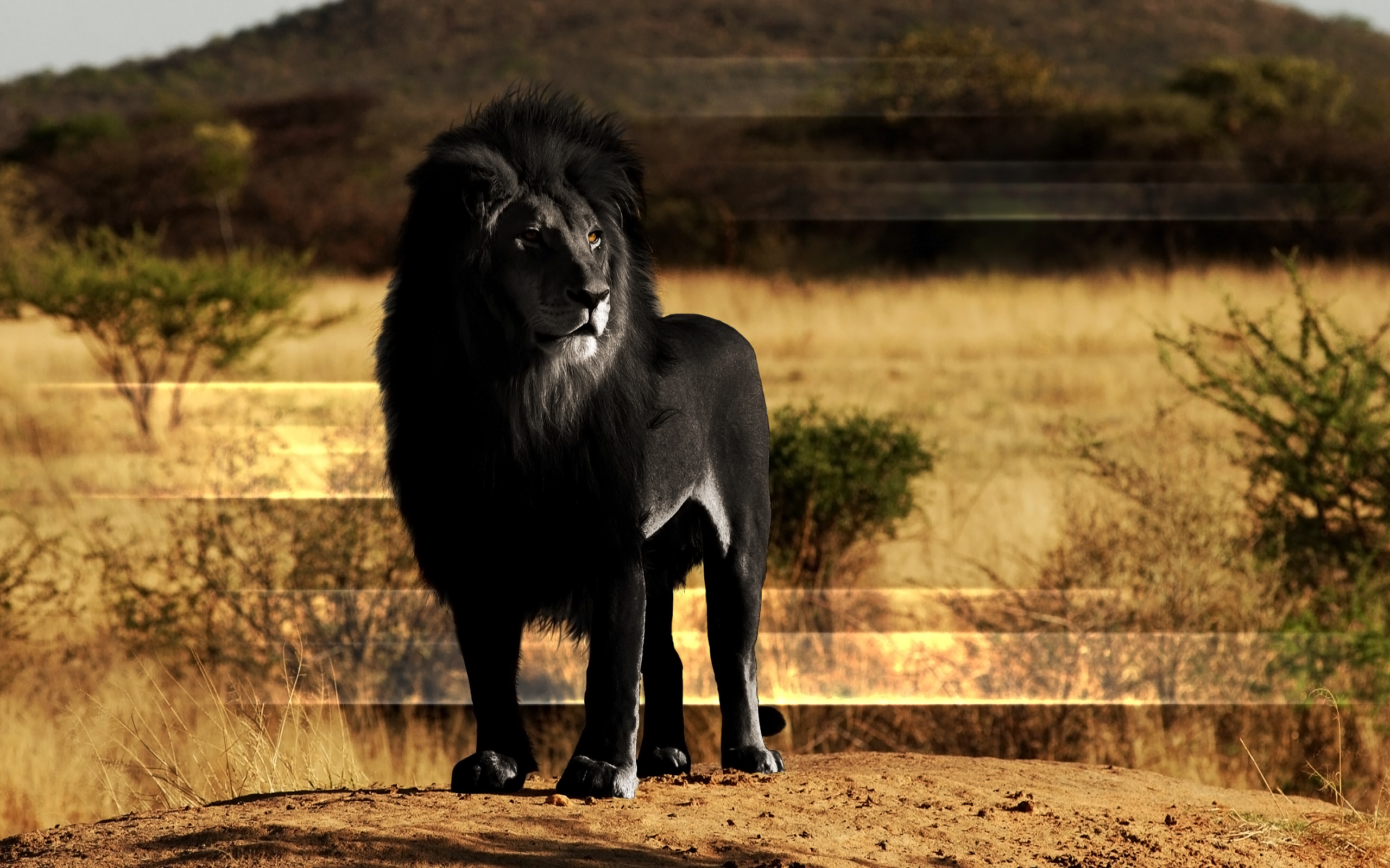 black lion computer wallpapers desktop backgrounds