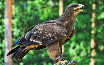 Animal - Eagle Wallpapers and Backgrounds ID : 260401