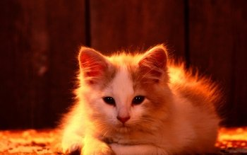 Animal - Cat Wallpapers and Backgrounds ID : 264051