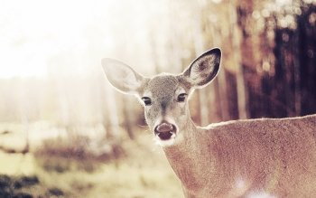 Animal - Deer Wallpapers and Backgrounds ID : 266941