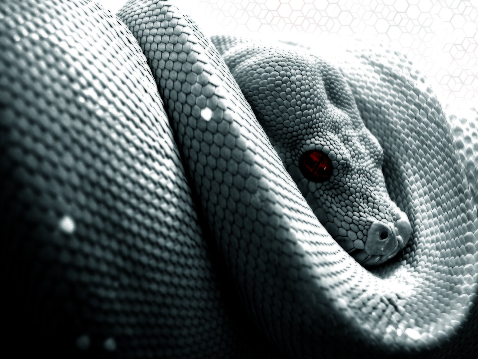 Animal - Python  Snake Reptile Animal Wallpaper
