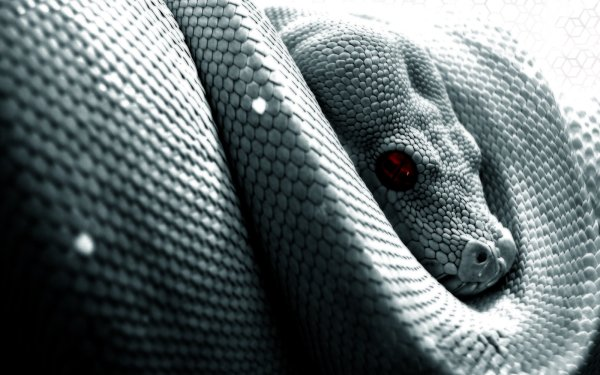 Djur Python Reptiles Snakes Orm Reptile HD Wallpaper | Background Image