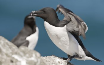 Animal - Razorbill Wallpapers and Backgrounds ID : 270313