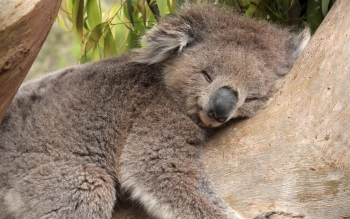 Djur - Koala Wallpapers and Backgrounds ID : 270883