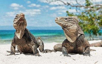 Animal - Iguana Wallpapers and Backgrounds ID : 271561