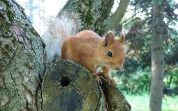 Animal - Squirrel Wallpapers and Backgrounds ID : 271731