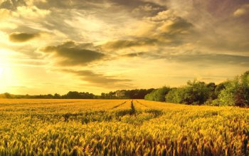 Earth - Wheat Wallpapers and Backgrounds ID : 272221