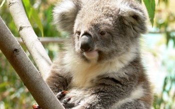 Animal - Koala Wallpapers and Backgrounds ID : 272361