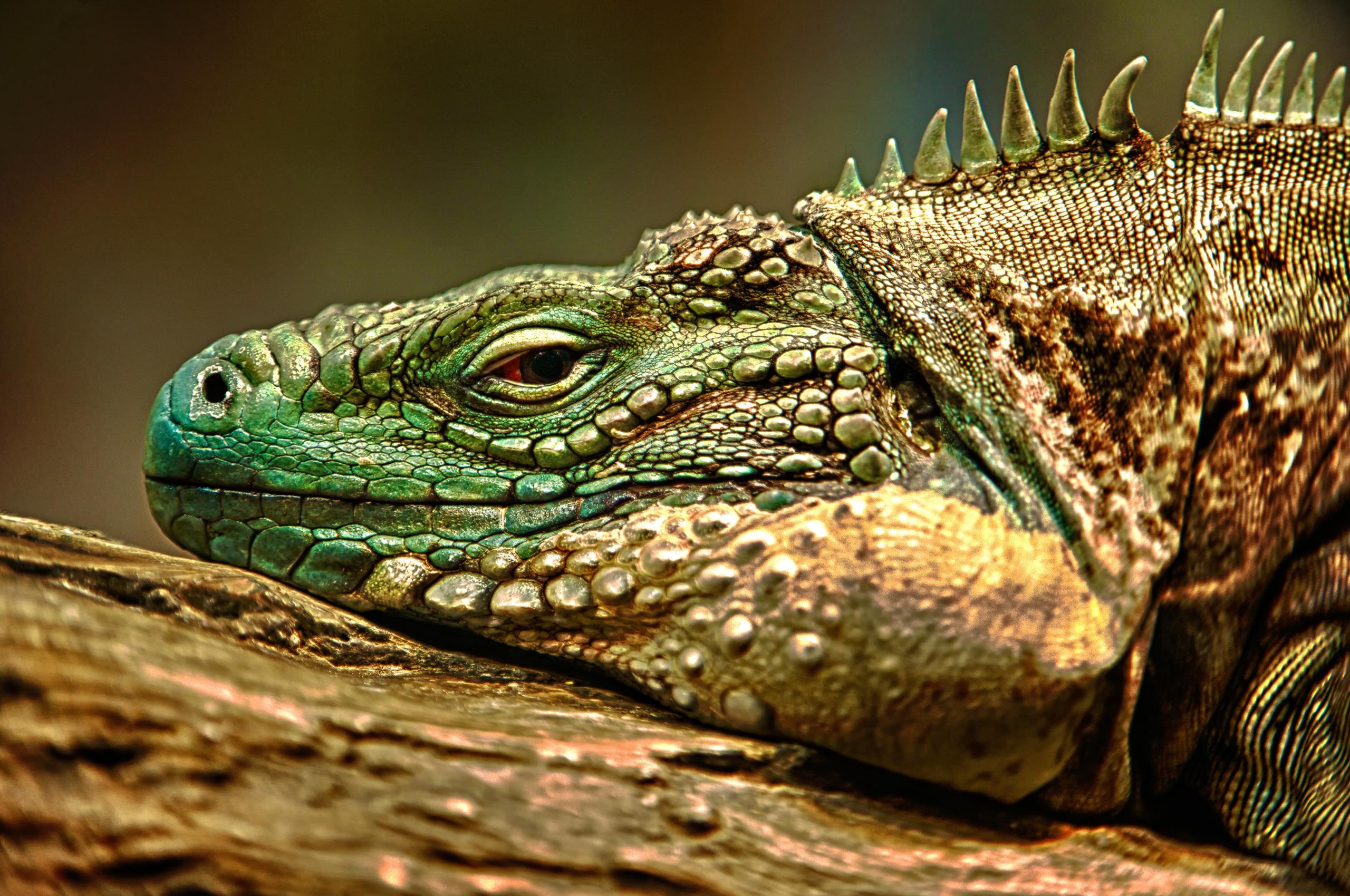 Lizard HD Wallpaper | Background Image | 2560x1700 | ID ...