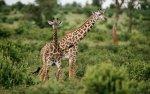 Preview Giraffe