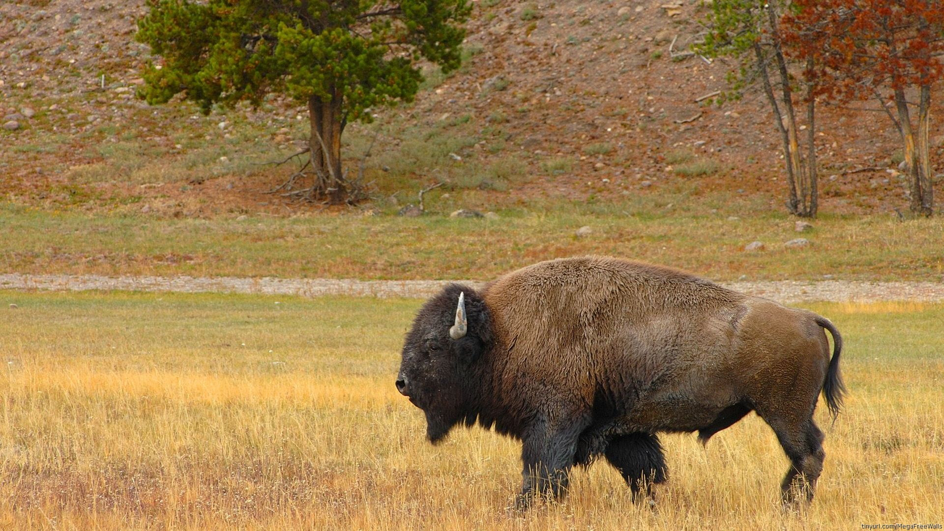 American Bison HD Wallpaper | Background Image | 1920x1080 ...