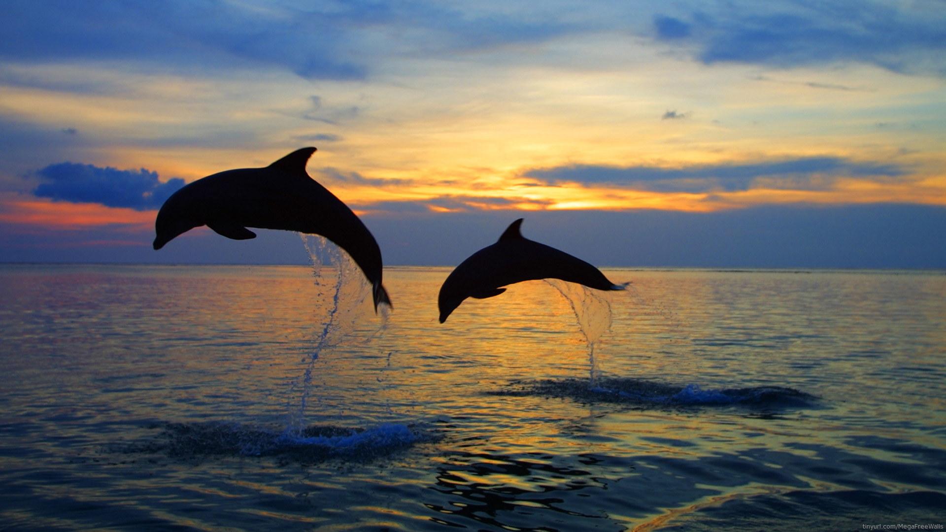 animal dolphin sunset sunrise wallpaper