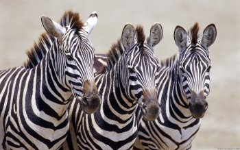 Animal - Zebra Wallpapers and Backgrounds ID : 277001