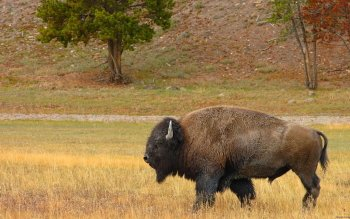 Animal - Buffalo Wallpapers and Backgrounds ID : 277051