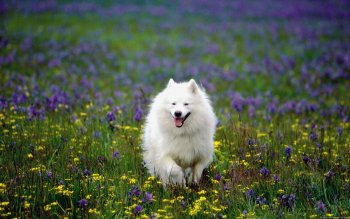 Animal - Samoyed Wallpapers and Backgrounds ID : 277091