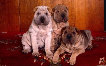 Animalia - Shar Pei Wallpapers and Backgrounds ID : 277101