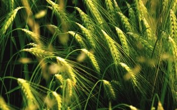 Earth - Wheat Wallpapers and Backgrounds ID : 277933