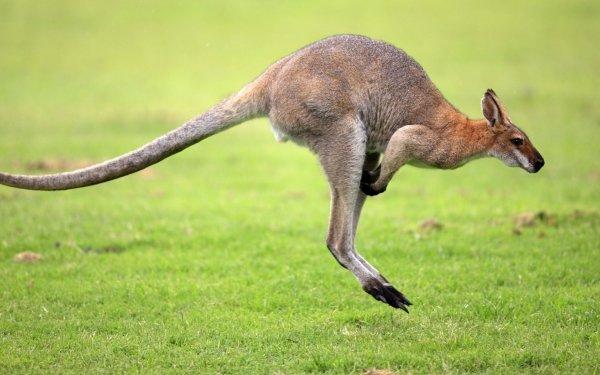 Animal Wallaby Kangaroo Australia Red-Necked Wallaby HD Wallpaper   Background Image