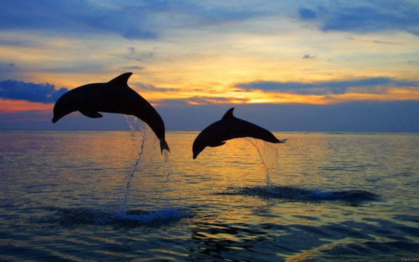Animal Dolphin Sunset Sunrise HD Wallpaper | Background Image