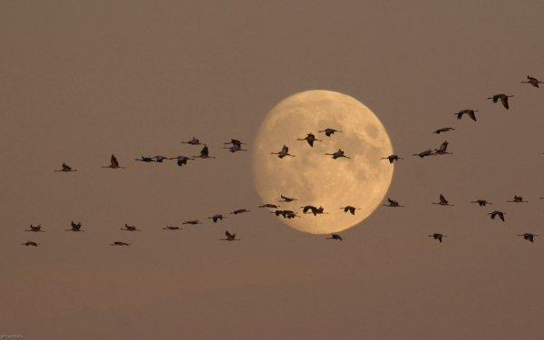 Animal Bird Birds Brown Flock Of Birds Moon HD Wallpaper | Background Image