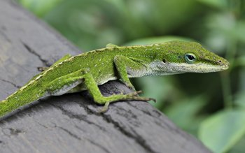 Animal - Green Anole Wallpapers and Backgrounds ID : 283623