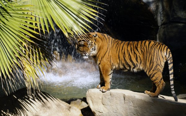 Animal Tiger Cats Water Cat HD Wallpaper   Background Image