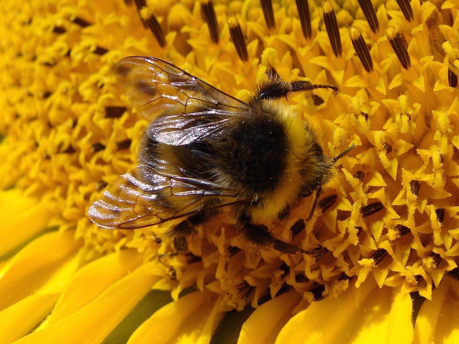 Bumblebee wallpaper and background image 1600x1200 id - Bumblebee desktop wallpapers ...