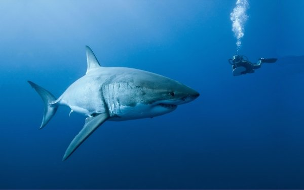 Movie Oceans Shark Nature Underwater Diver Scuba Diver Great White Shark HD Wallpaper | Background Image