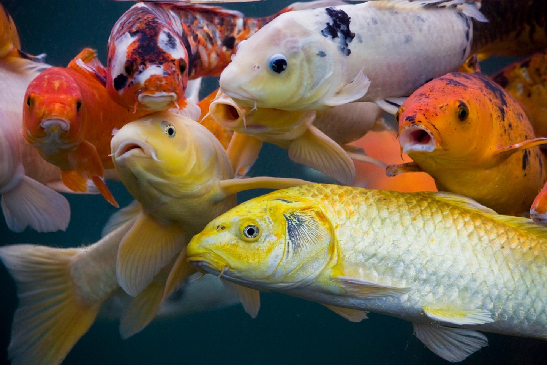 Animal fish oriental asian koi wallpaper for Koi fish wallpaper for walls