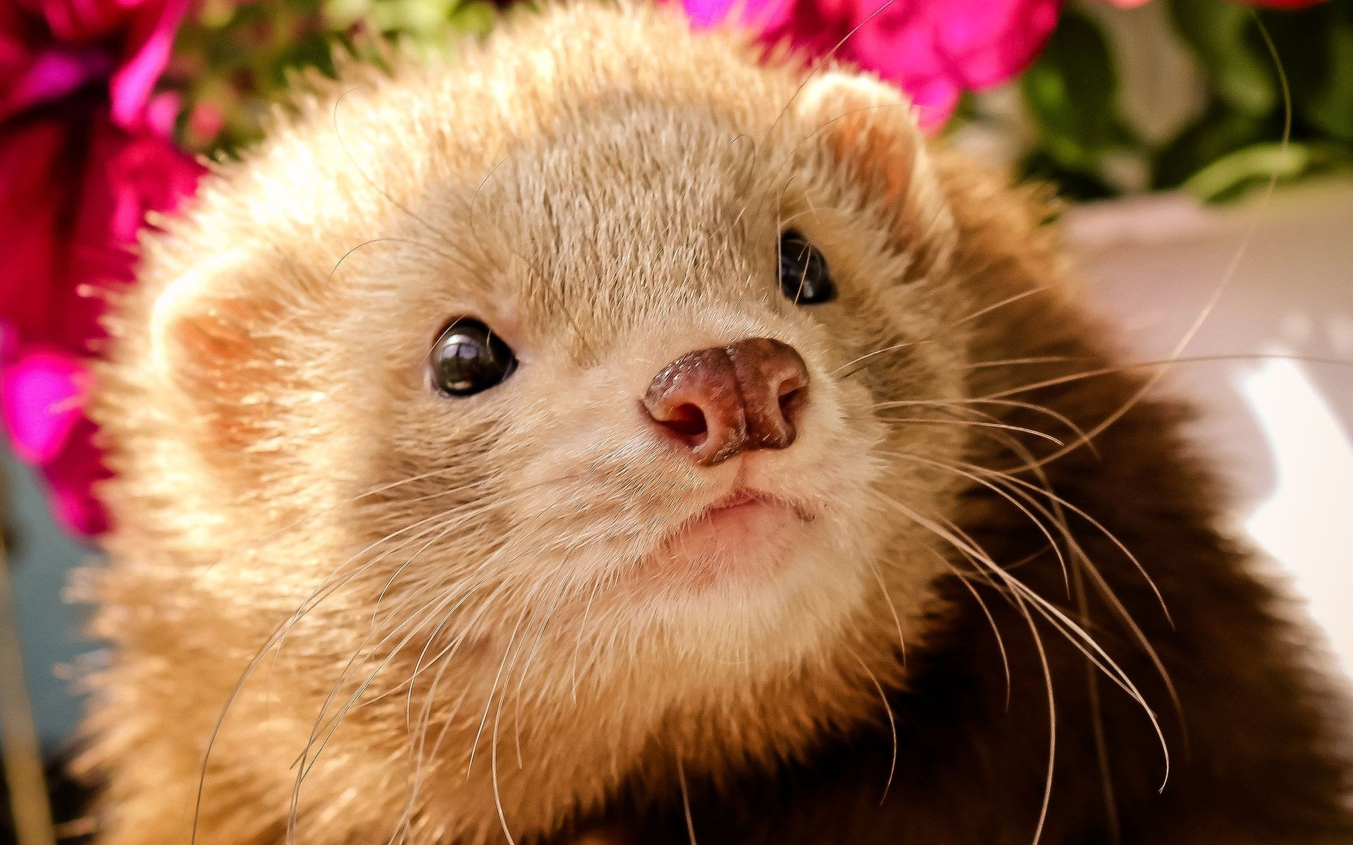 ferret face wallpaper background - photo #11