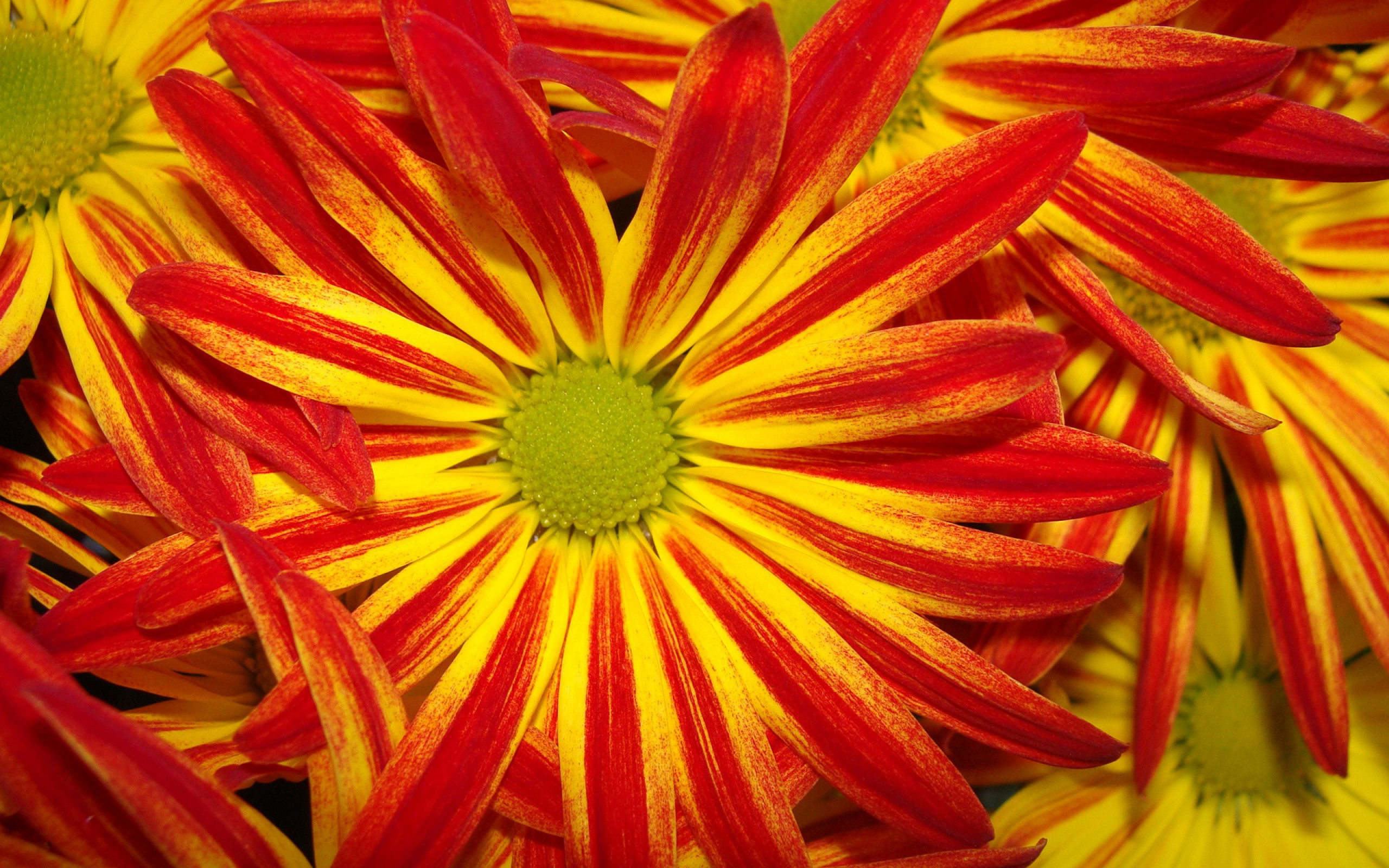 Bright Red And Yellow Daisies Hd Wallpaper Background Image