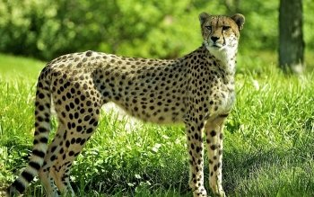 Djur - Cheetah Wallpapers and Backgrounds ID : 290833