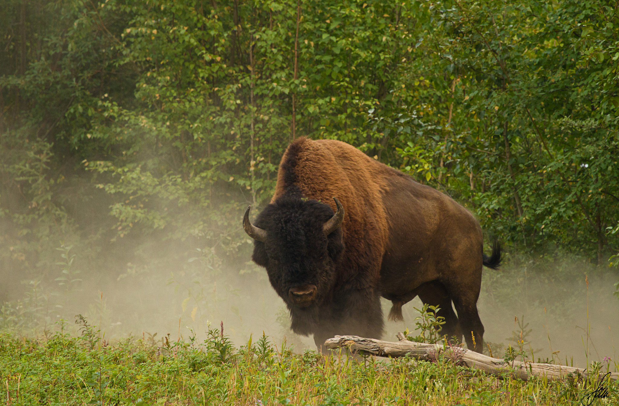 Bison Full HD Wallpaper and Background Image | 2048x1344 ...