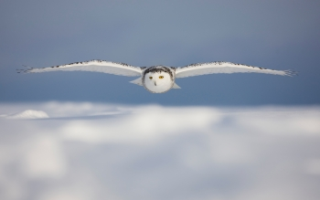 Animal - Snowy Owl Wallpapers and Backgrounds ID : 293093