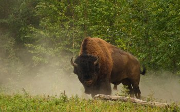 Animal - Buffalo Wallpapers and Backgrounds ID : 293923