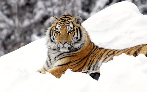 Animal Tiger Cats Snow Big Cat predator HD Wallpaper   Background Image