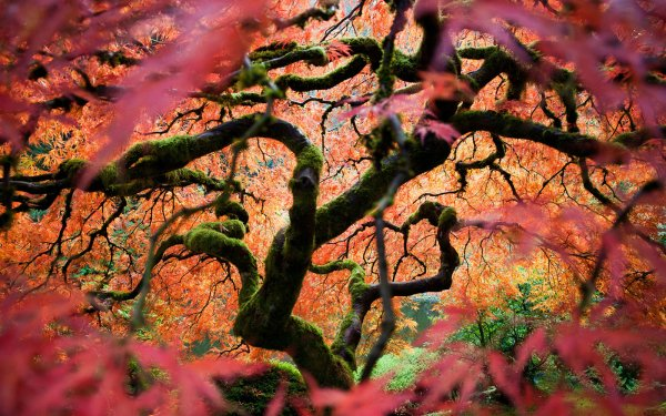 Earth Fall Landscape Scenic Leaf Nature Season Maple Leaf Maple Tree Tree HD Wallpaper | Background Image