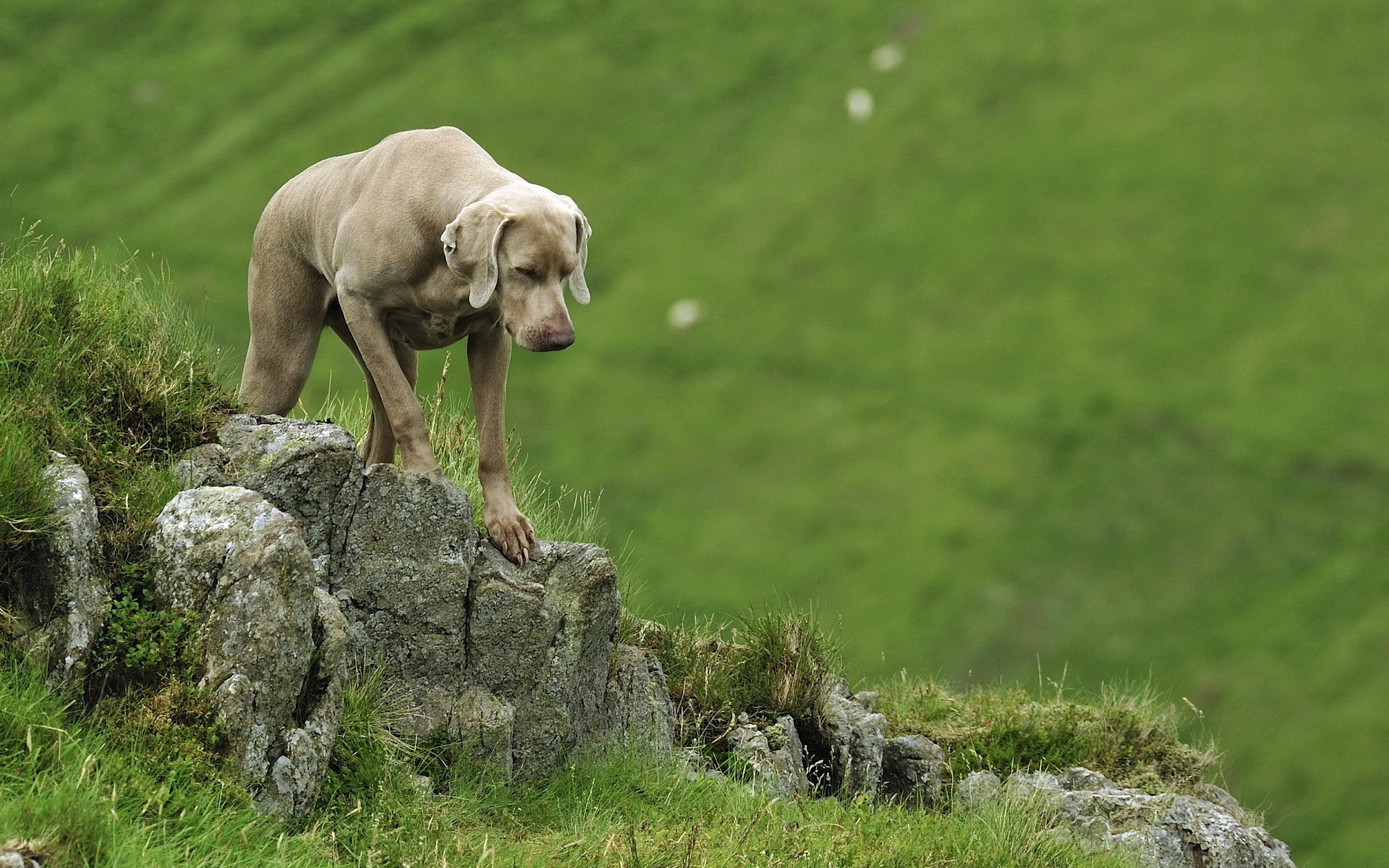 weimaraner dog Full HD Wallpaper and Background ...