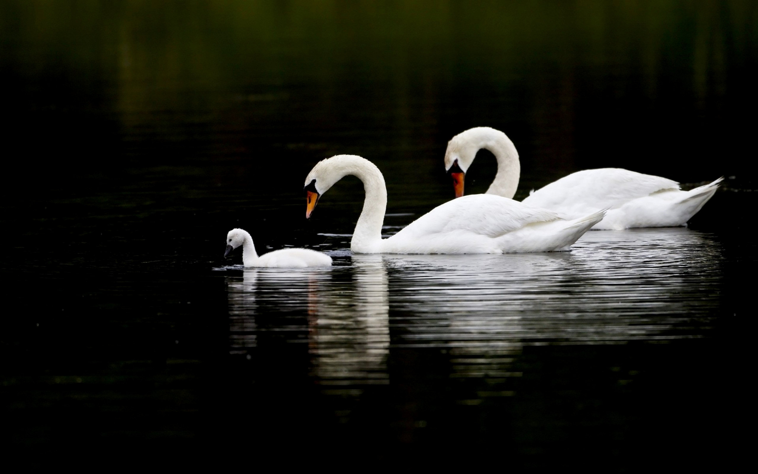 Swans Full HD Wallpaper and Background Image | 2560x1600 ...