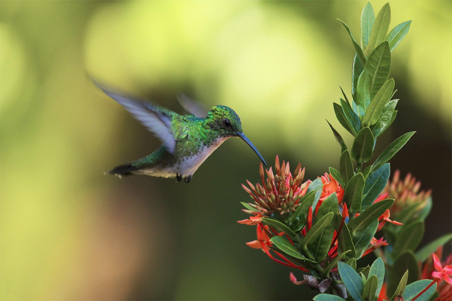 Animal - Hummingbird  Blossom Flower Bird Wallpaper