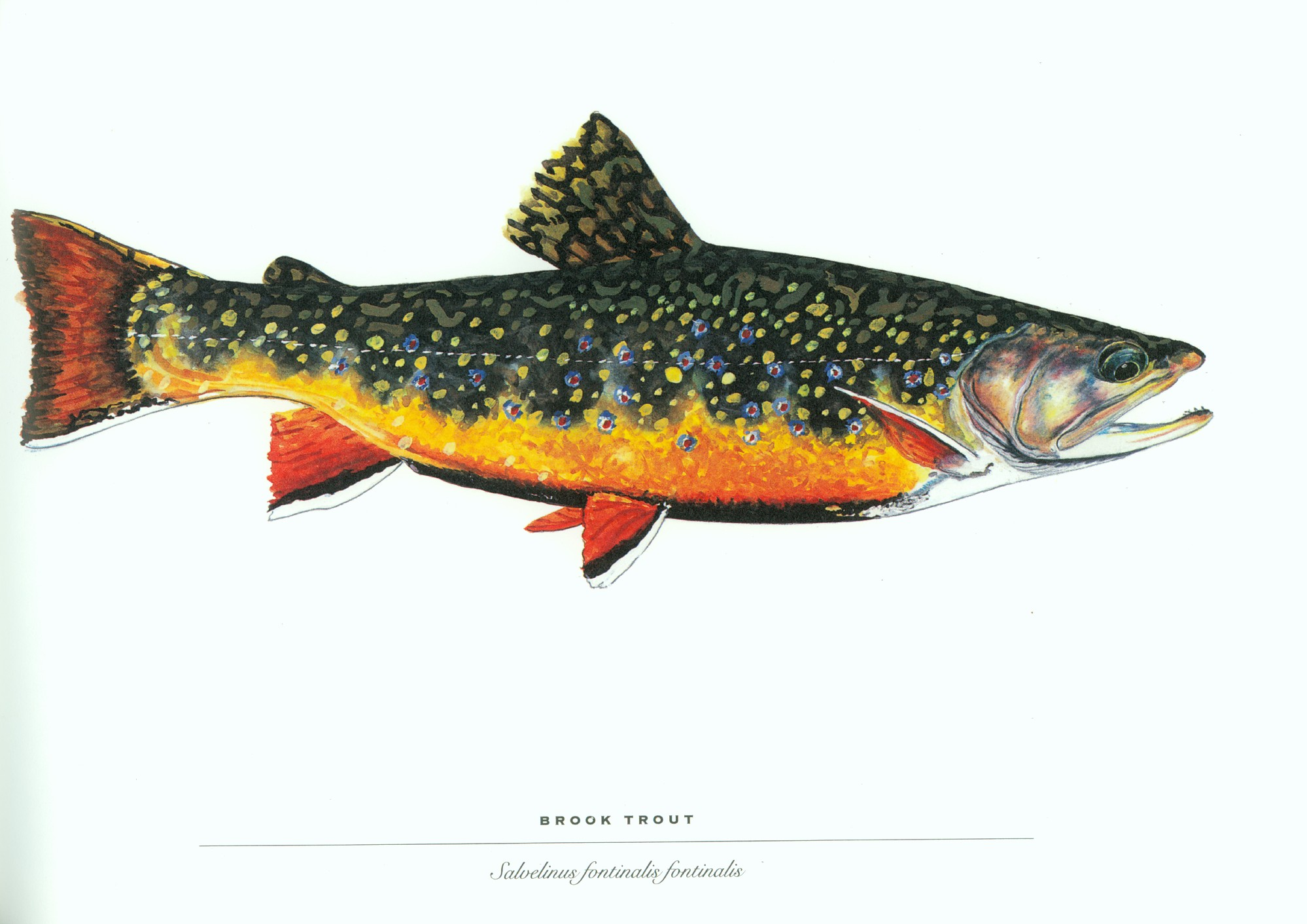 trout wallpaper free backgrounds - photo #8