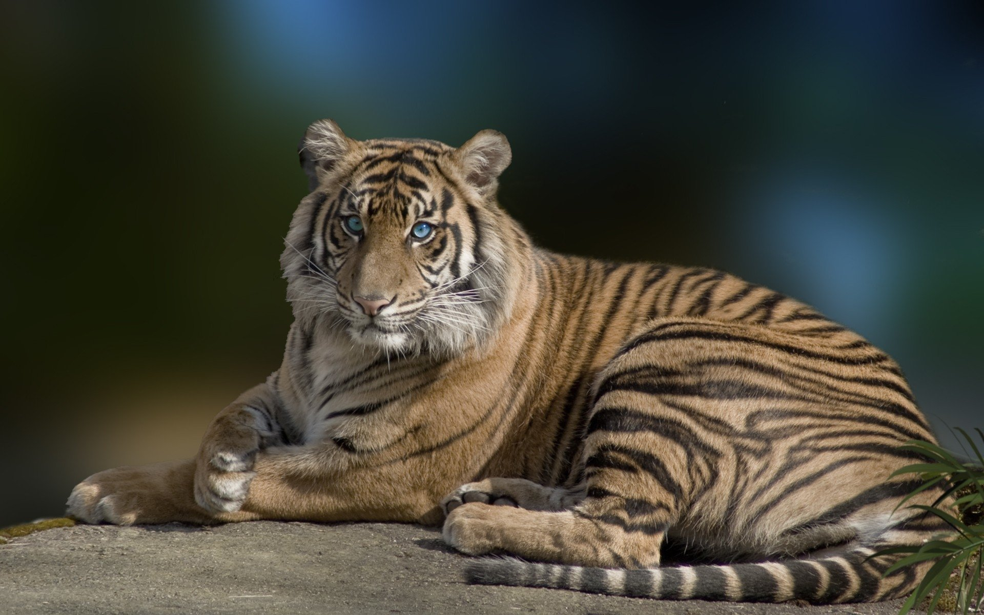 Animal - Tiger  Cat Animal Big Cat Wildlife Predator (Animal) Blue Eyes Wallpaper