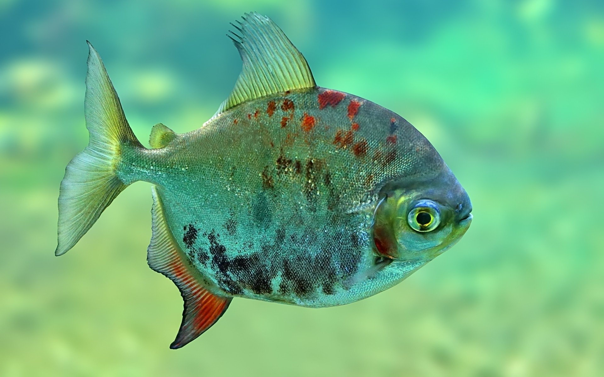 piranha hd wallpaper | background image | 1920x1200 | id:309741