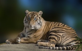 Animal - Tiger Wallpapers and Backgrounds ID : 309661
