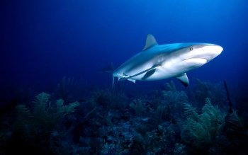 Animal - Shark Wallpapers and Backgrounds ID : 3543